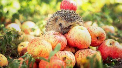 Photo of Пектиновая «яблочная» диета. Эффективность и опасности