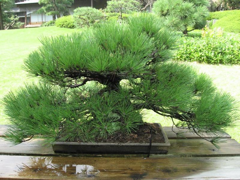 дерево банзай