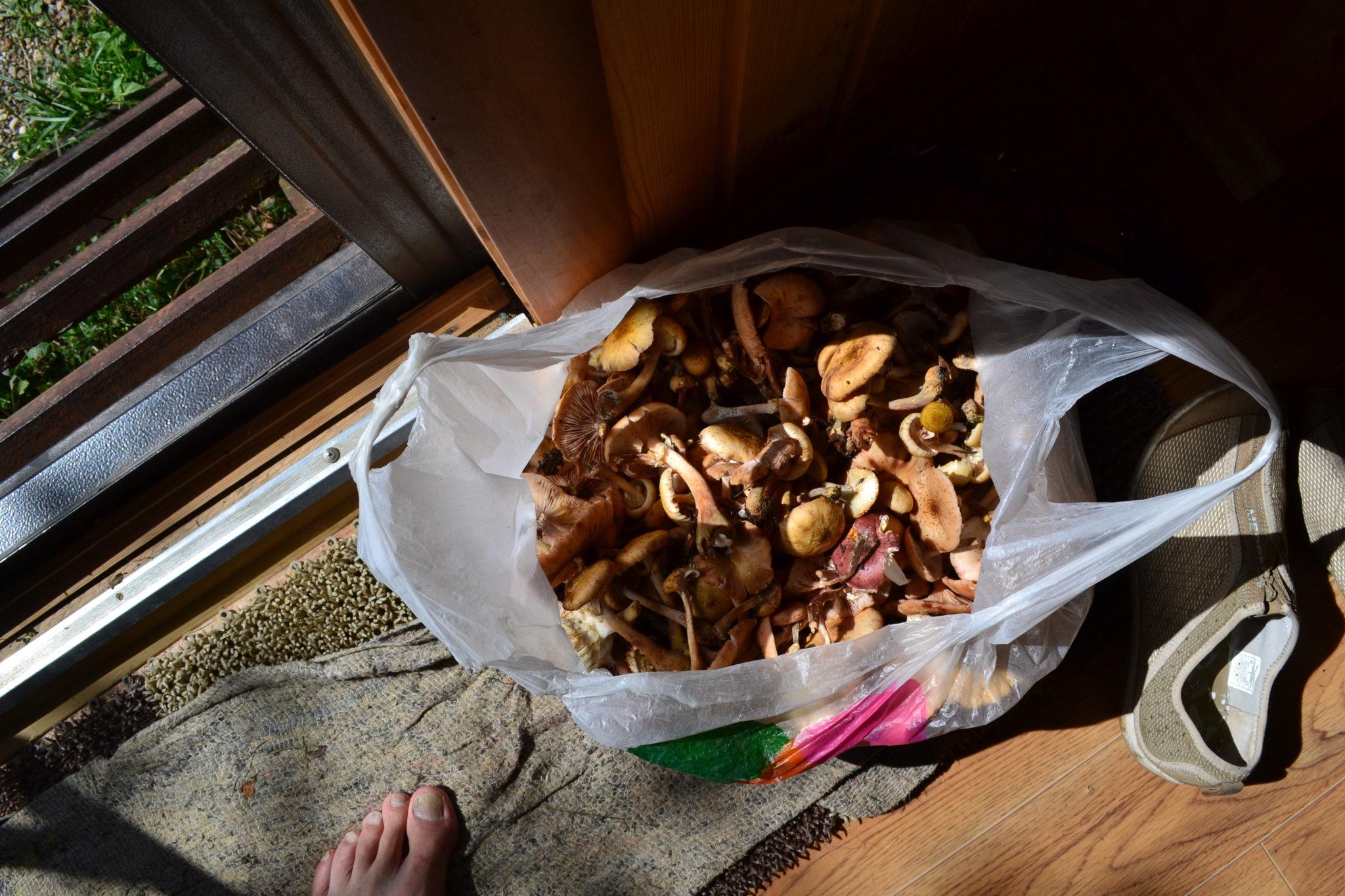 грибы в Мезмае
