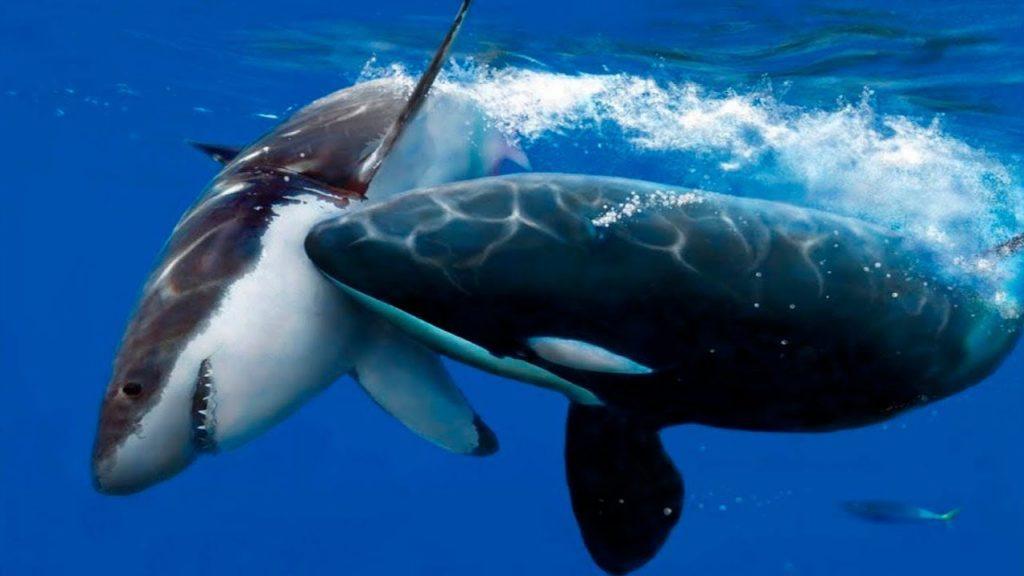 кит убийца
