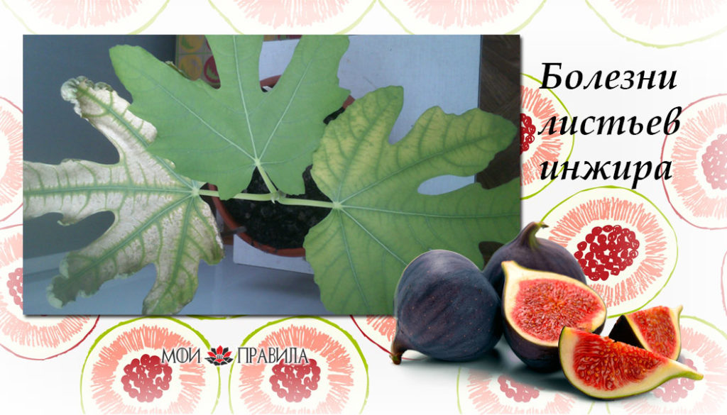 Болезни листьев инжира