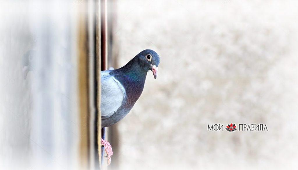 Photo of К чему голубь садится на окно – приметы