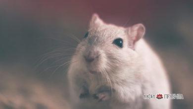 Photo of К чему снятся крысы мужчине: интерпретации известных сонников