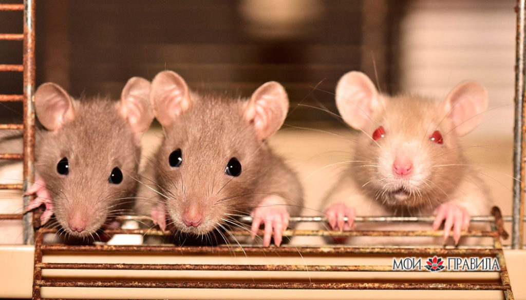 Крысеноши