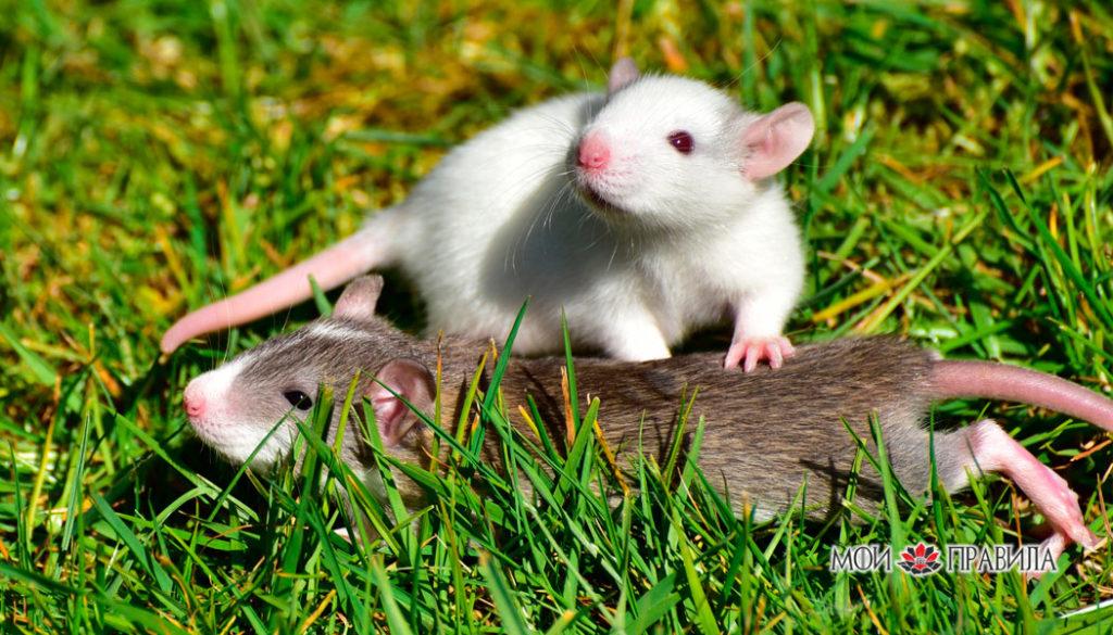 Крысята